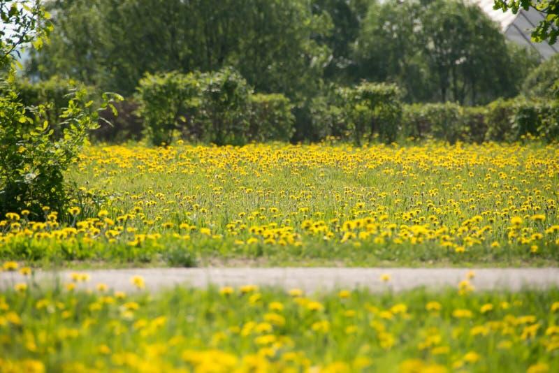 Pelouse avec les pissenlits fleurissants photographie stock libre de droits