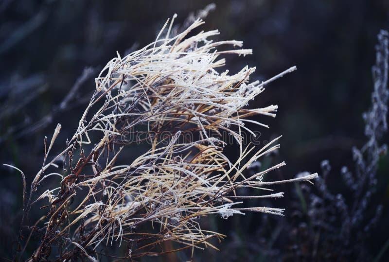 Pelouse sèche dans un pré couvert de hoarfrost blanc froid d'automne. Contexte naturel naturel photo libre de droits