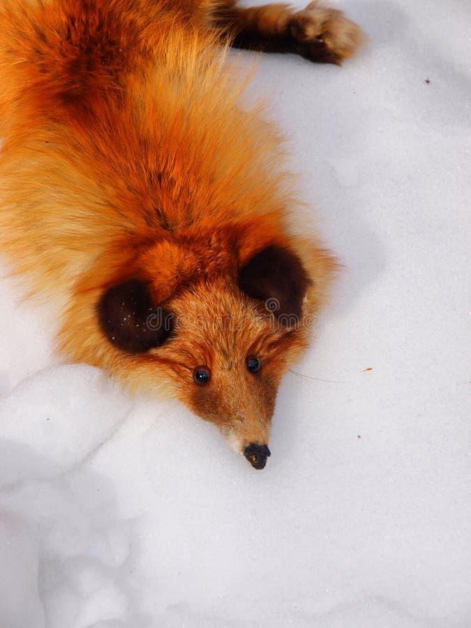 Pelt da pele de raposa vermelha fotografia de stock