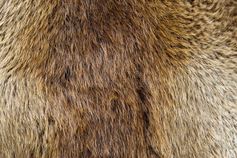 Pelt do castor fotografia de stock