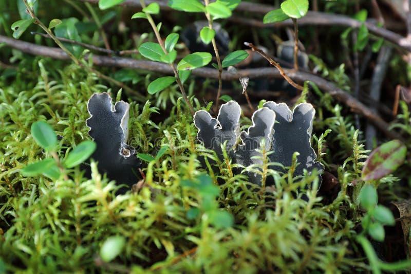 Peltigera canina. Lichen among mosses stock photo