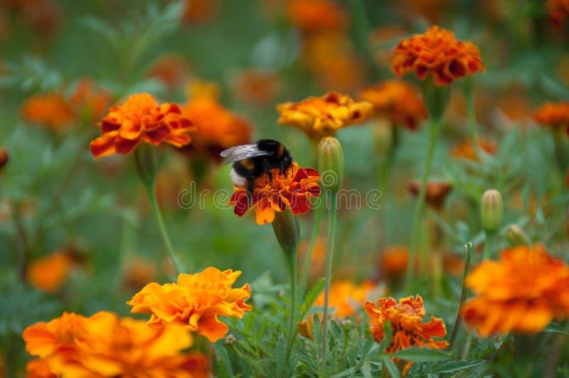 Pelucheux gaffez la séance d'abeille sur la fleur orange lumineuse sur le parterre photographie stock