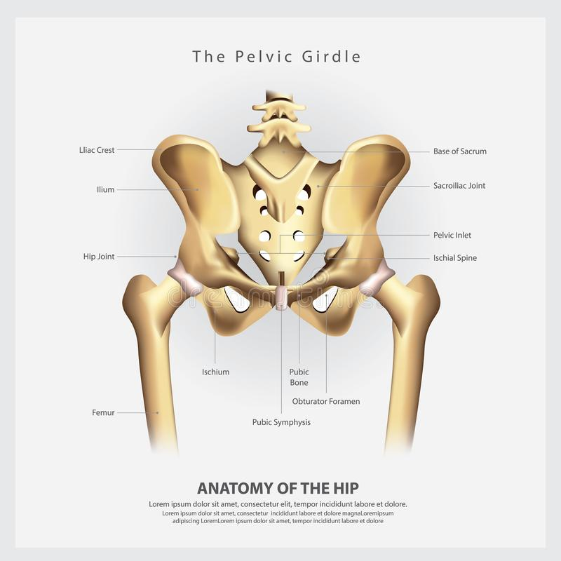 The Pelvic Girdle of Human Hip Bone Anatomy. Vector Illustration stock illustration