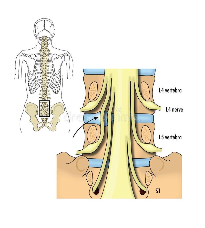 Pelvic Nerve Roots Stock Vector Illustration Of Biology 41446384