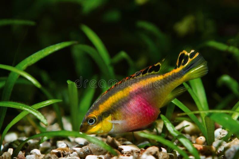 Pelvicachromis pulcher νεαρά αρσενικά ψάρια στην ομορφιά του, δημοφιλή διακοσμητικά είδη, ενδημικό ζώο του αφρικανικού ποταμού Κο στοκ εικόνα
