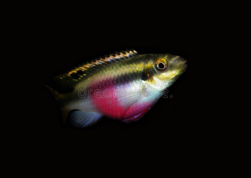 Pelvicachromis pulcher zdjęcia stock