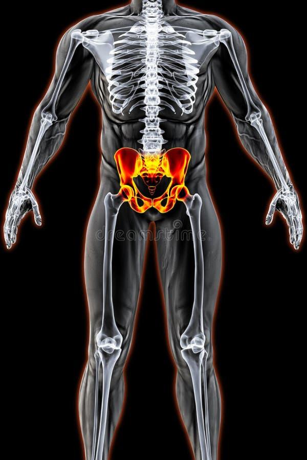 pelvis иллюстрация вектора