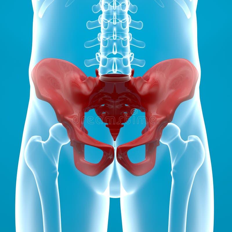 Pelvis Human Body X Ray Stock Illustration Illustration Of Human