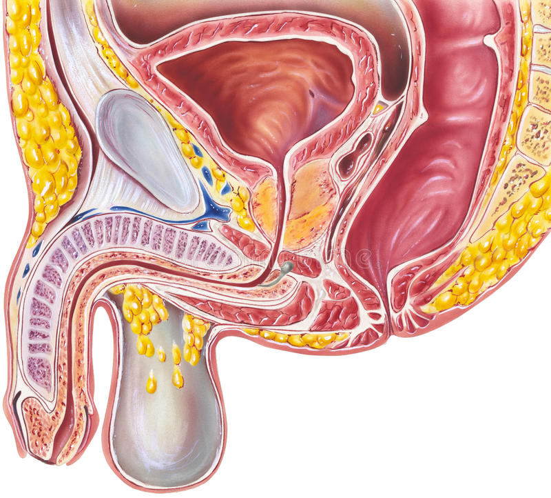 Pelvis Male Cutaway View Stock Photo Image Of Prostate 60391394