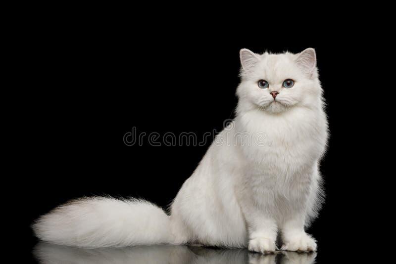 Pelz-Briten züchten weiße Farbe der Katze auf lokalisiertem schwarzem Hintergrund lizenzfreie stockfotografie