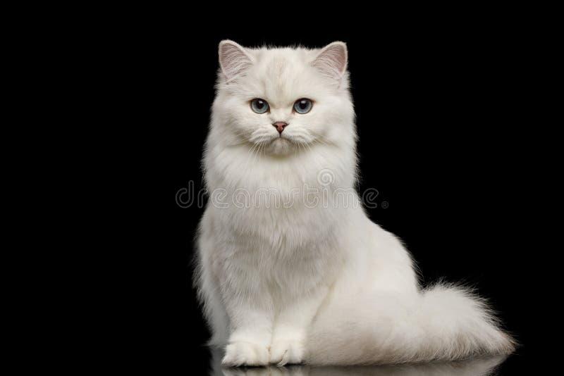 Pelz-Briten züchten weiße Farbe der Katze auf lokalisiertem schwarzem Hintergrund lizenzfreies stockfoto