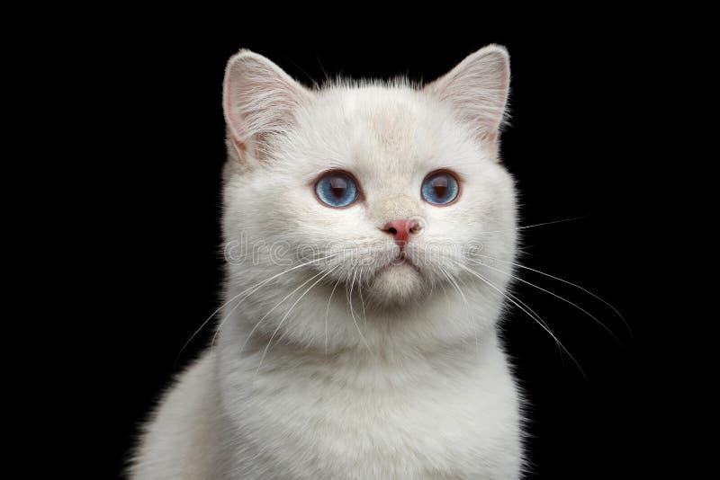 Pelz-Briten züchten weiße Farbe der Katze auf lokalisiertem schwarzem Hintergrund stockbild