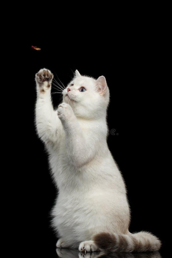 Pelz-Briten züchten weiße Farbe der Katze auf lokalisiertem schwarzem Hintergrund stockfoto