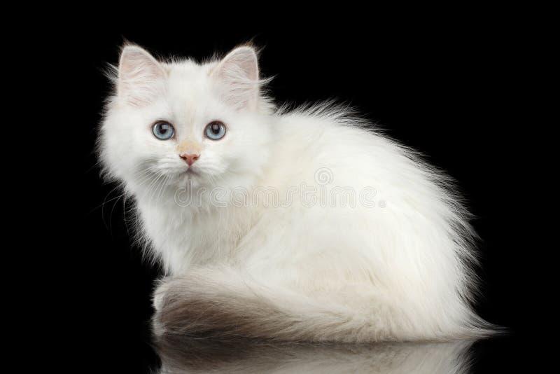 Pelz-Briten züchten weiße Farbe der Miezekatze auf lokalisiertem schwarzem Hintergrund lizenzfreie stockfotografie