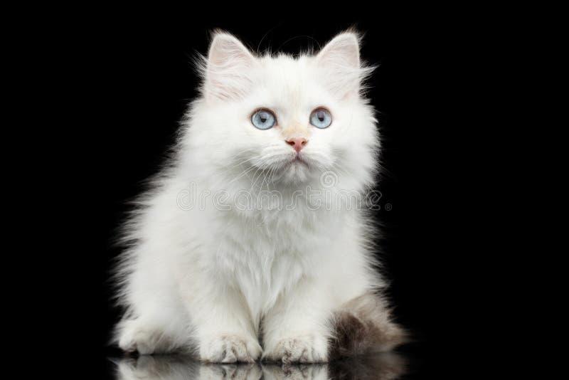Pelz-Briten züchten weiße Farbe der Miezekatze auf lokalisiertem schwarzem Hintergrund lizenzfreies stockfoto