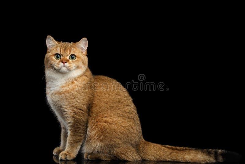 Pelz-Briten-Zucht Cat Gold Chinchilla Isolated Black-Hintergrund lizenzfreie stockbilder