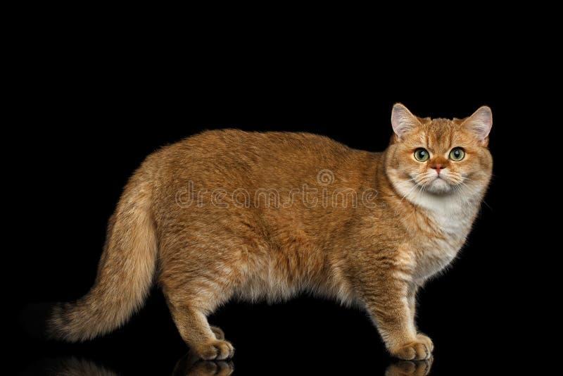 Pelz-Briten-Zucht Cat Gold Chinchilla Isolated Black-Hintergrund stockfotografie