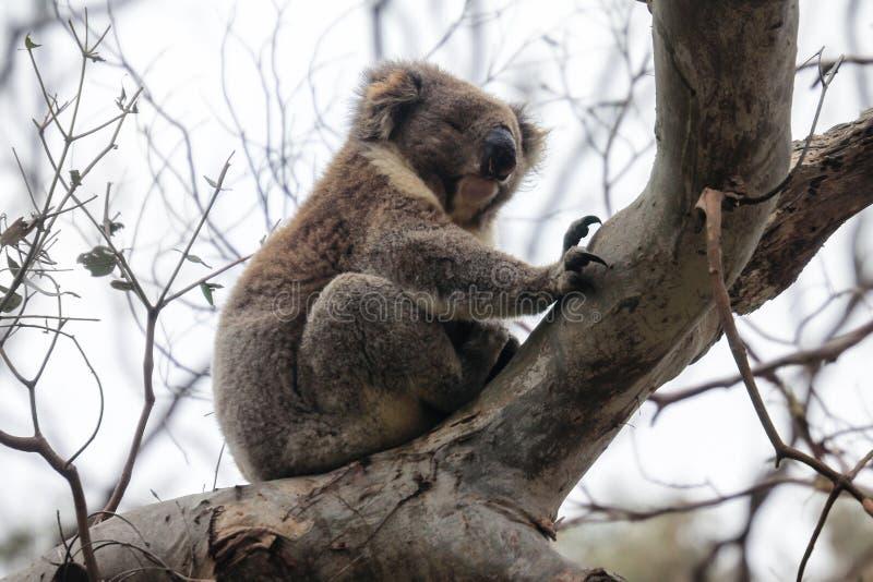 Pelz-coala Bär, der auf der Niederlassung, nahe Melbourne, Australien schläft stockfotografie