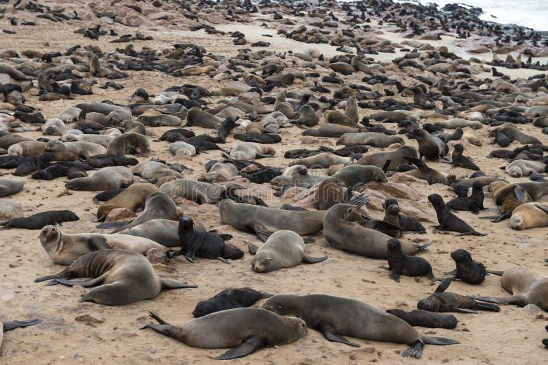 Pelz-Robbenkolonie am Kap-Kreuz (Namibia) lizenzfreie stockfotos