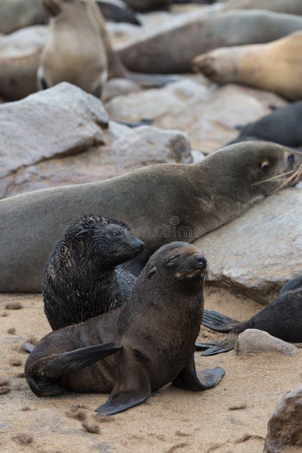 Pelz-Robbenkolonie am Kap-Kreuz (Namibia) lizenzfreie stockbilder