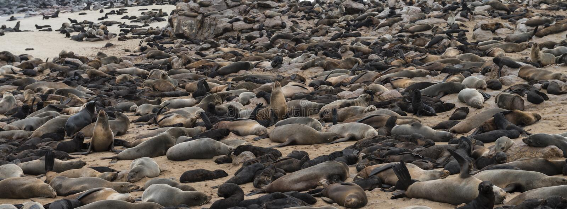 Pelz-Robbenkolonie am Kap-Kreuz (Namibia) stockbilder