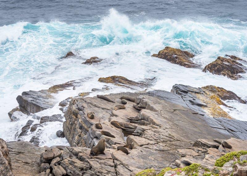 Pelzrobben, Cape Du Couedic, Flinders-Verfolgungs-Nationalpark, Kangar lizenzfreie stockfotografie