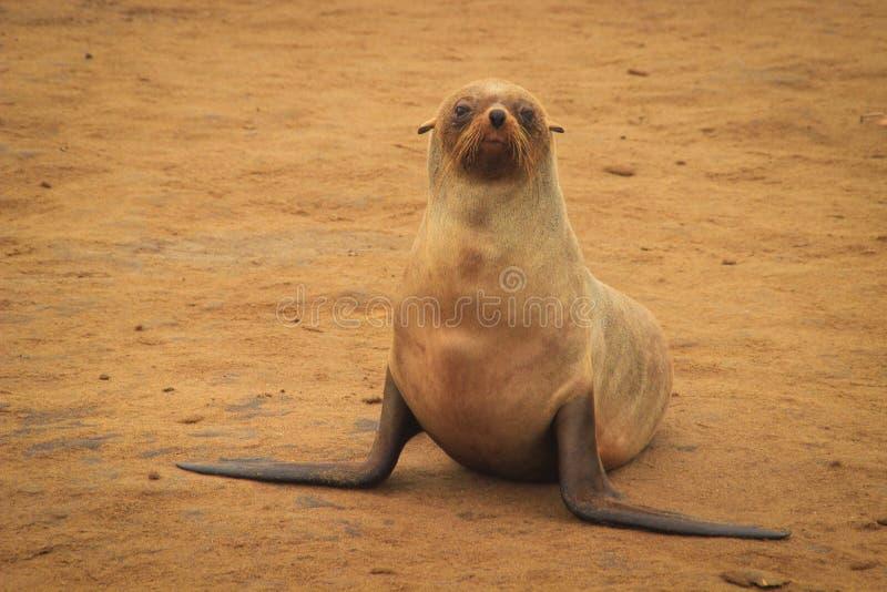 PelzRobbenbaby liegt auf dem Strand des Atlantiks stockfotos