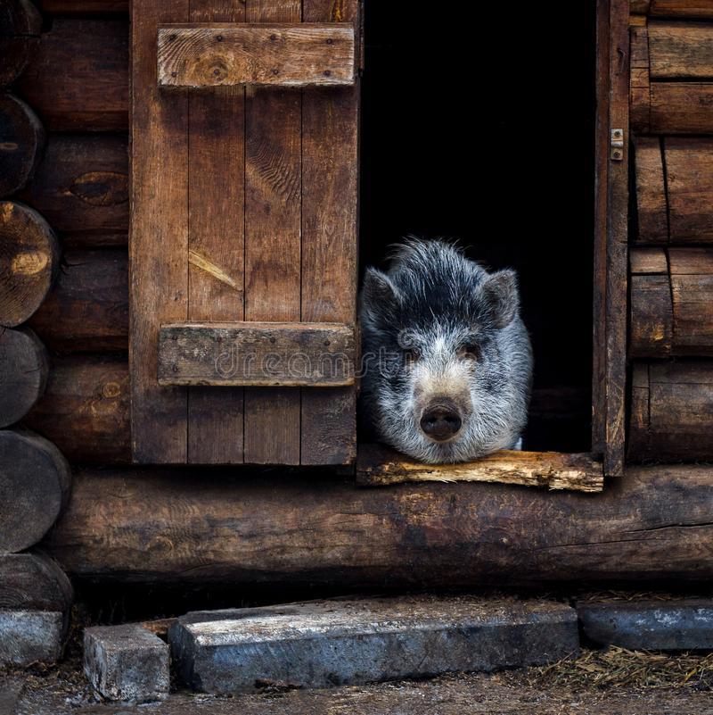 Pelzschwein, das im Haus sitzt stockbild