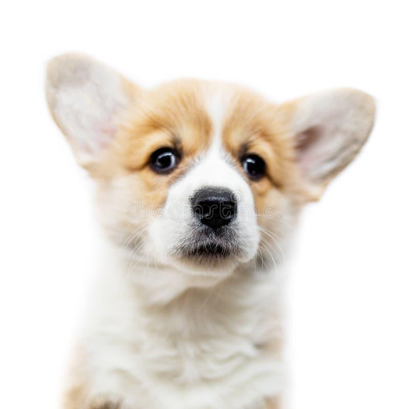 Pembroke bonito do Corgi de Galês do cachorrinho isolado no fundo branco P fotografia de stock royalty free