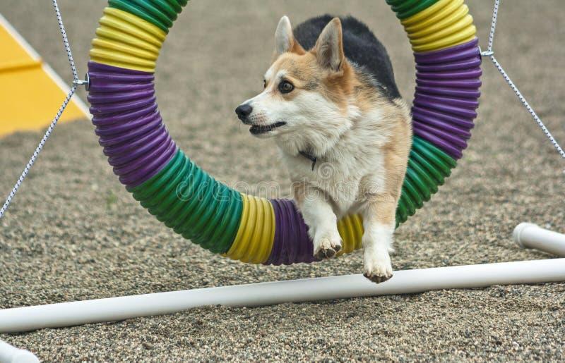 Pembroke Corgi Agility Dog Performing el salto del neumático foto de archivo libre de regalías