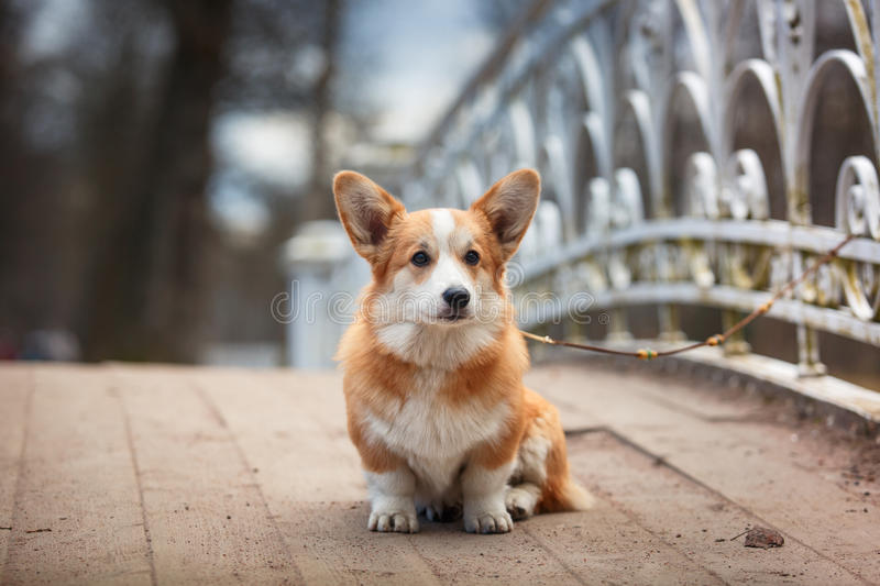 Pembroke de corgi de Gallois de race de chien photos stock