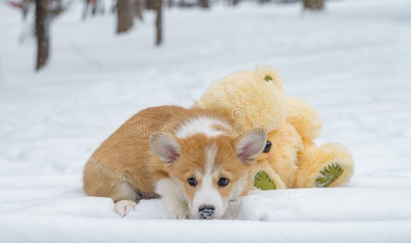 Pembroke de corgi de Gallois de chien photo stock