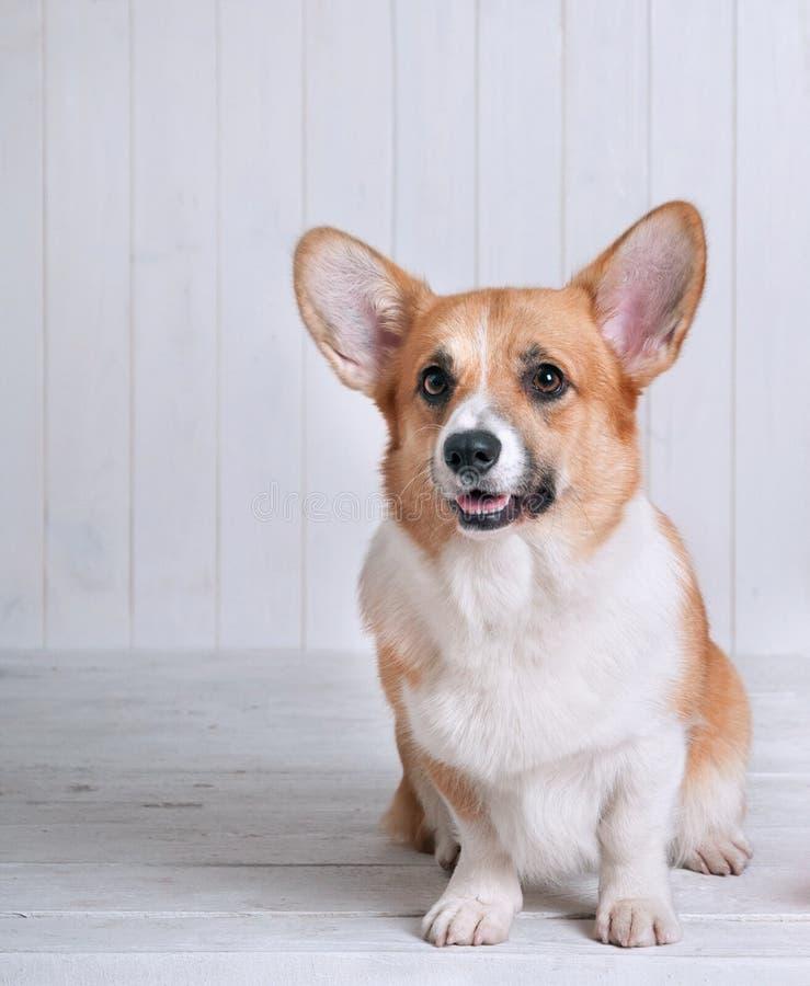 Pembroke del Corgi del perro en la sonrisa blanca del fondo foto de archivo libre de regalías