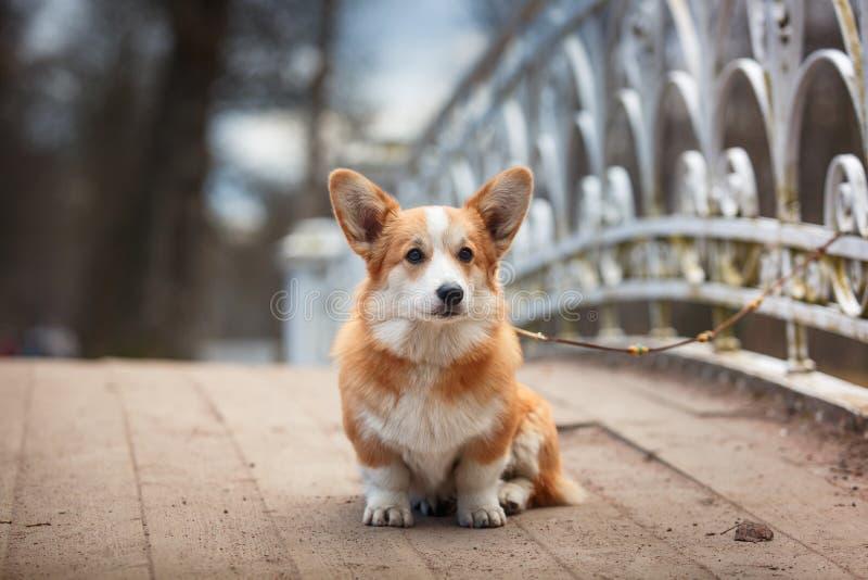Pembroke för Corgi för hundavel walesisk arkivfoton