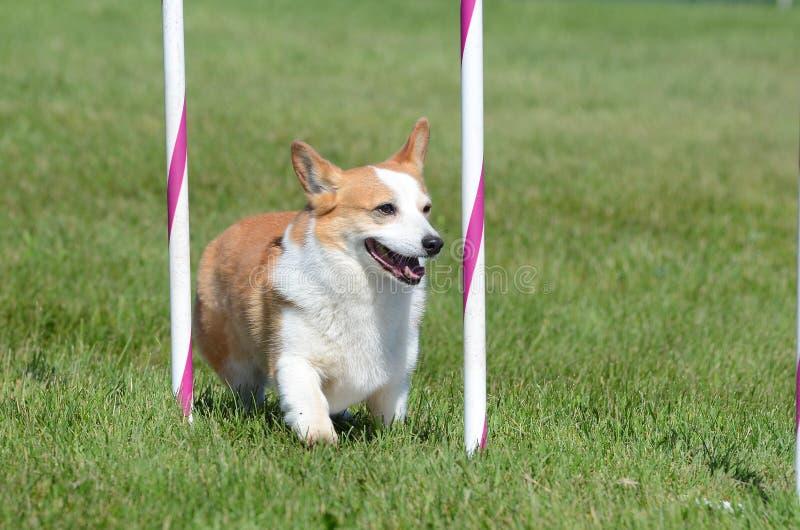 Pembroke Welch Corgi ad una prova di agilità del cane fotografia stock