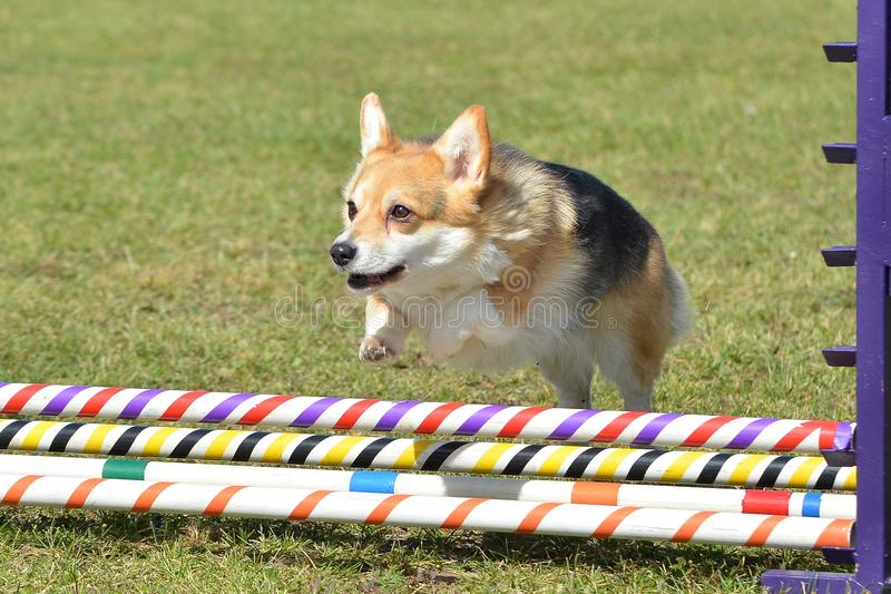 Pembroke Welch Corgi at a Dog Agility Trial. Pembroke Welch Corgi Leaping Over a Jump at a Dog Agility Trial stock photography