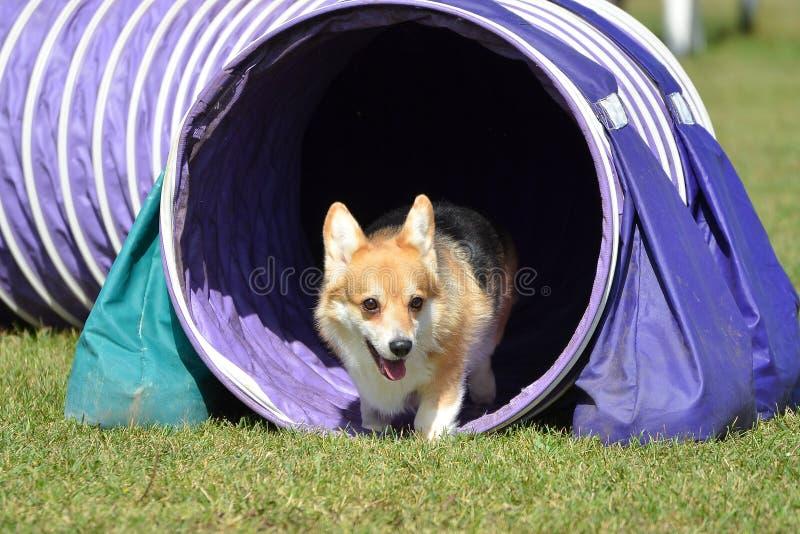 Pembroke Welch Corgi an einem Hundebeweglichkeits-Versuch stockfoto