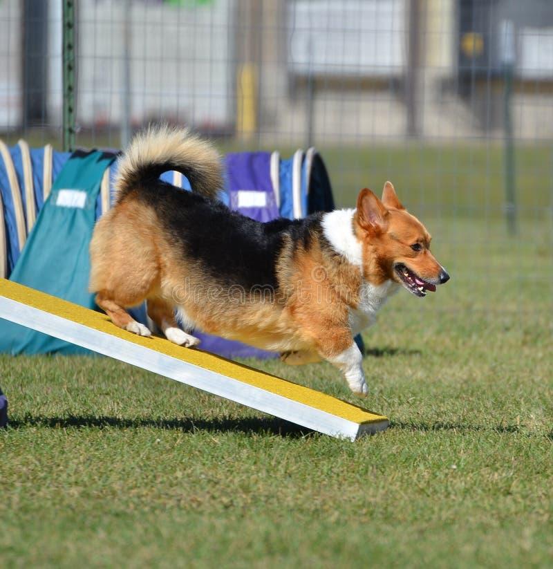 Pembroke Welch Corgi an einem Hundebeweglichkeits-Versuch lizenzfreie stockbilder