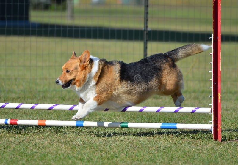 Pembroke Welch Corgi an einem Hundebeweglichkeits-Versuch lizenzfreies stockfoto