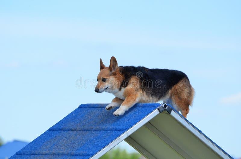 Pembroke Welch Corgi an einem Hundebeweglichkeits-Versuch lizenzfreie stockfotografie