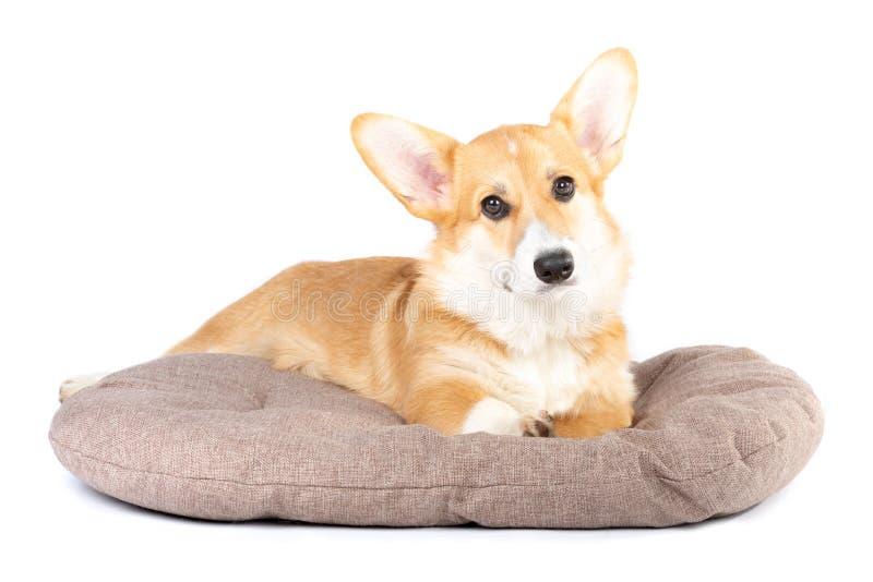 Pembroke Welsh Corgi in a dog bed royalty free stock image