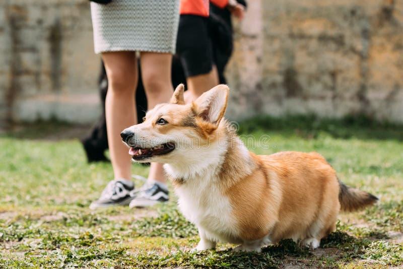 Pembroke Welsh Corgi Dog Is en liten typ av att samlas hunden det arkivfoto