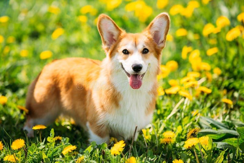 Pembroke Welsh Corgi Dog Puppy che gioca nell'erba verde di estate fotografia stock