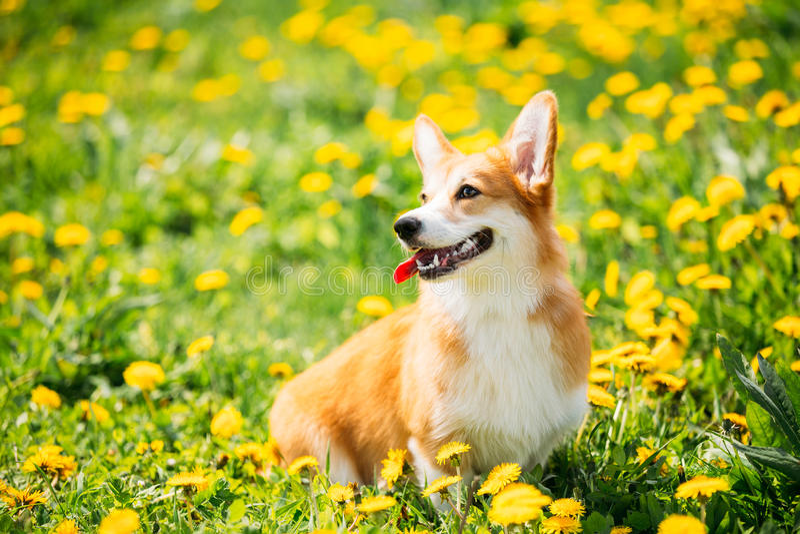 Pembroke Welsh Corgi Dog Puppy, der im grünen Sommer-Gras sitzt stockfoto