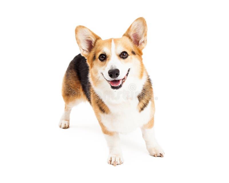 Pembroke Welsh Corgi Dog Standing felice immagine stock libera da diritti