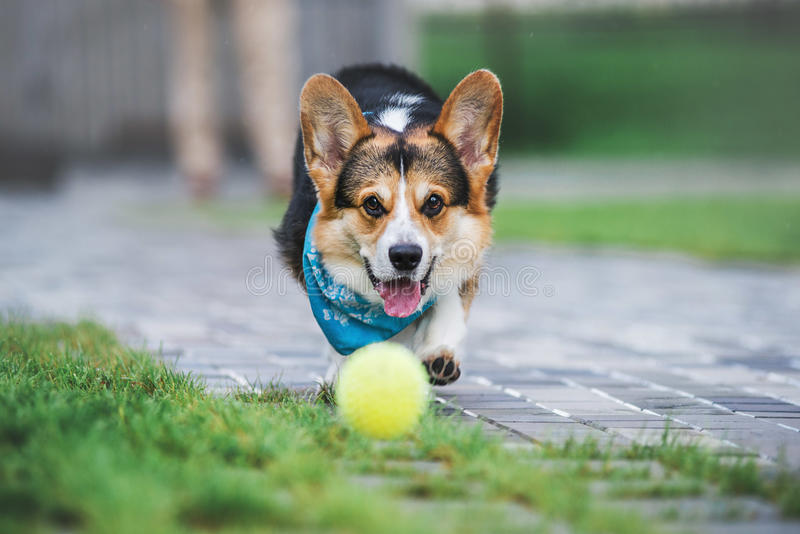 Pembroke Welsh Corgi, Dog Welsh Corgi running outdoors. stock photos
