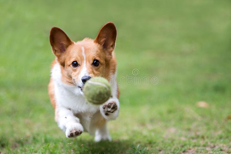 Pembroke Welsh Corgi Playing With Tennis Ball. Brown/white pembroke welsh corgi chasing after a tennis ball in a field of grass. Loose dirt particles seen mid stock photography