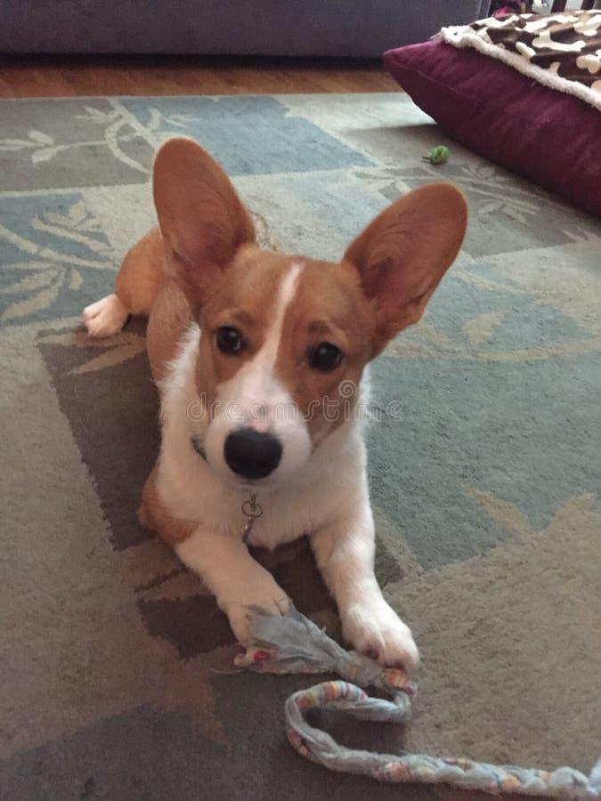 Pembroke Welsh Corgi-puppy royalty-vrije stock foto's