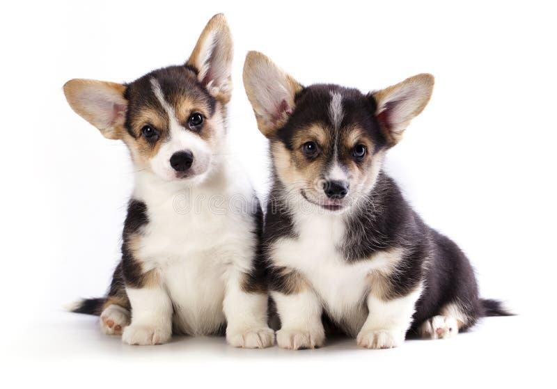 Pembroke Welsh Corgi puppy stock image
