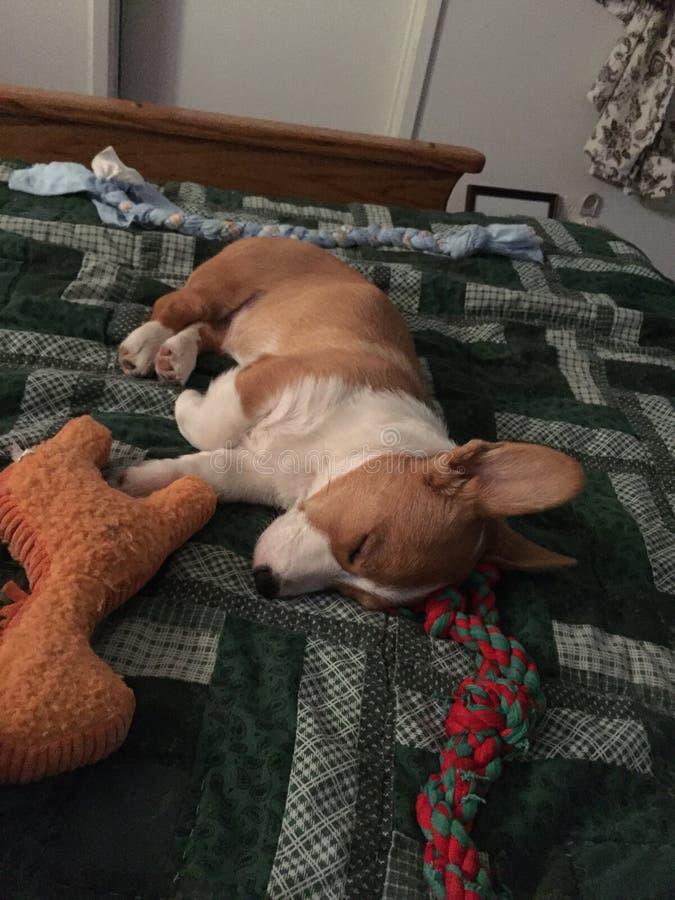Pembroke Welsh Corgi-in slaap puppy stock afbeelding